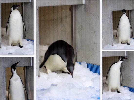 Đưa chim cánh cụt Hoàng đế về quê hương