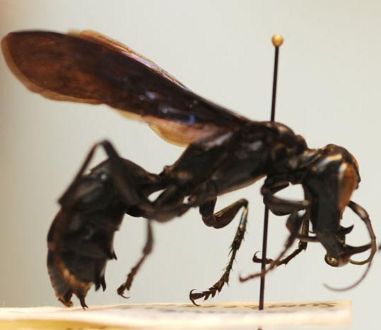 Phát hiện ong vò vẽ có hàm răng khổng lồ