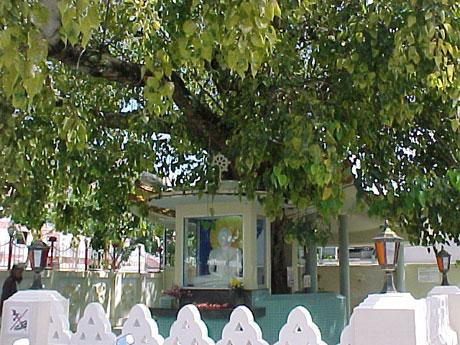 Cây bồ đề 2.500 tuổi, nơi Tất đạt đa Cồ đàm ngồi thiền 49 ngày trước khi giác ngộ, tại làng Bodh Gaya, bang Bihar, Ấn Độ.