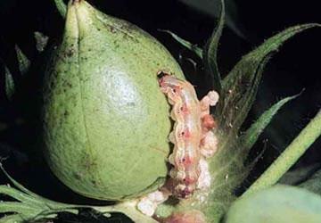 Côn trùng biến đổi gene đe dọa cây biến đổi gene