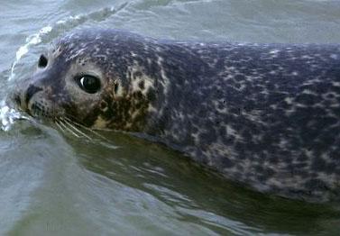 Virus nguy hiểm tấn công hải cẩu có thể lây sang người