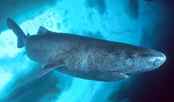 Cá mập Greenland là loài cá bơi chậm nhất trong tất cả các loài cá mập và cá nói chung.