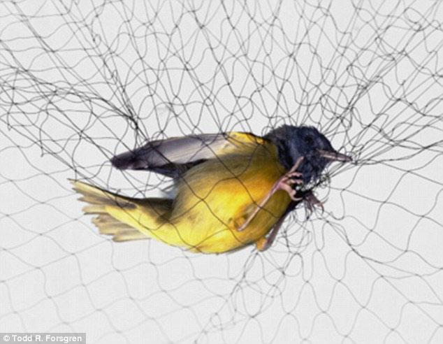 Những khoảnh khắc chim sa lưới hiếm thấy