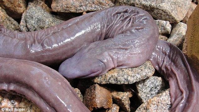 """Phát hiện loài """"rắn mù"""" kỳ lạ ở Brazil"""
