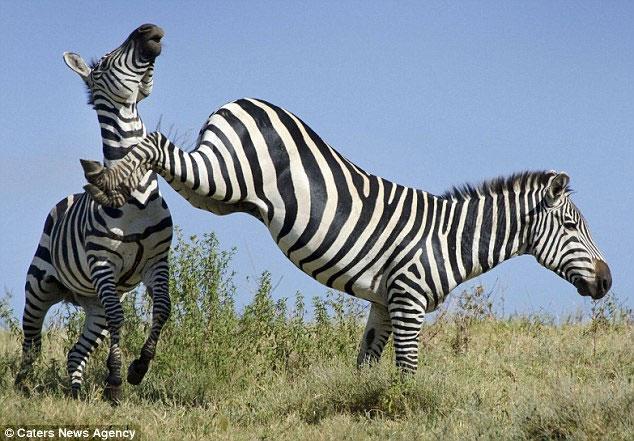 Ngựa vằn quyết chiến trên đồng cỏ