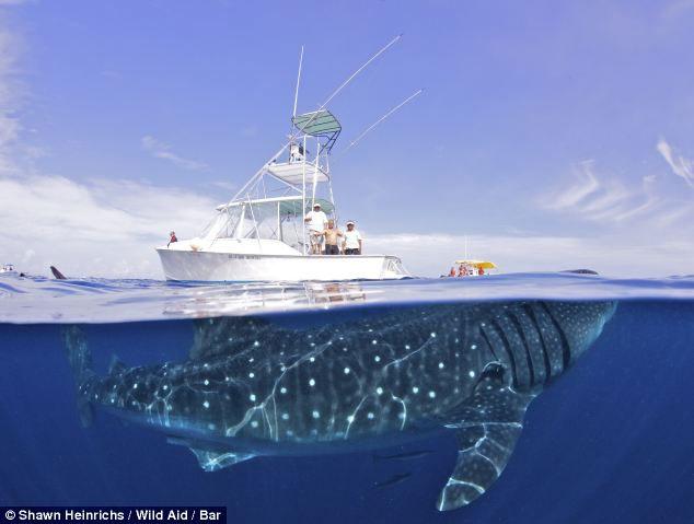 Bơi cùng loài cá lớn nhất hành tinh