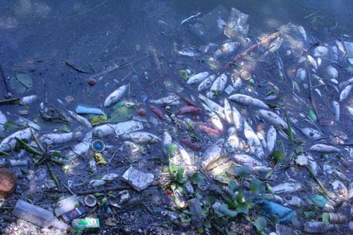 Hồ Tây: Cá chết hàng loạt vì nước ô nhiễm