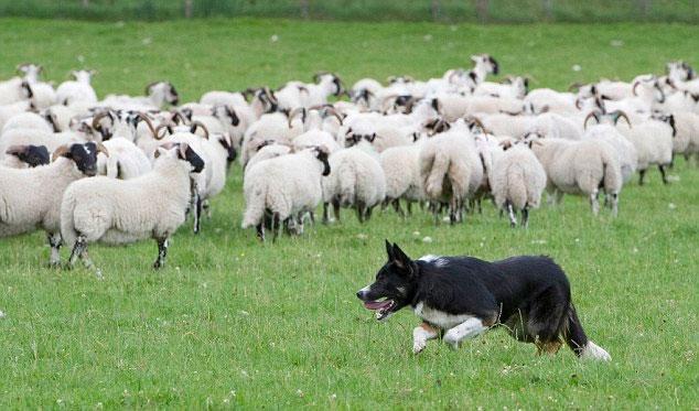 Vòng cổ giúp cừu chống chó sói