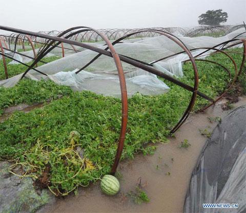 Một ruộng dưa hấu bị bão tàn phá tại làng Xunyan, huyện Sanmen.
