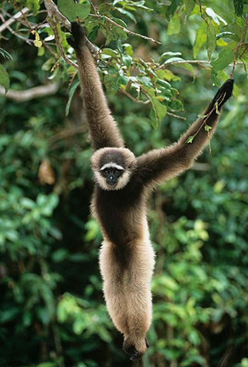 Loài vượn tay trắng Hylobates agilis (sống ở các khu rừng Đông Nam Á) có những động tác nhảy và chuyền cành uyển chuyển y hệt như các VĐV thi môn thể dục dụng cụ