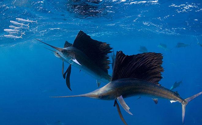 Nhìn hình ảnh của loài cá buồm Đại Tây Dương Istiophorus albicans giúp chúng ta liên tưởng đến các VĐV thi môn đua thuyền buồm. Bởi loài cá này có vây lưng lớn xếp dọc theo chiều dài cơ thể và khi mở rộng thì trông giống như cánh buồm