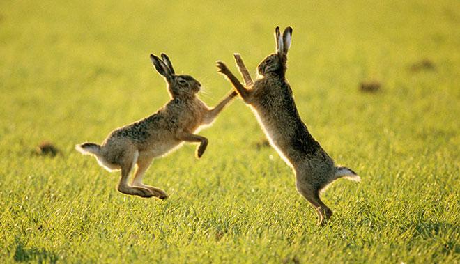 """Trong mùa giao phối khi xuân đến, một cặp thỏ châu Âu Lepus europaeus thường """"đấm bốc"""" (boxing) với nhau để lựa chọn bạn tình. Cụ thể, con đực - con cái đứng trên hai chân sau và đánh nhau bằng hai chân trước, những con đực nào thể hiện được sự mạnh mẽ mới có cơ hội được con cái chọn """"kết đôi"""" -"""