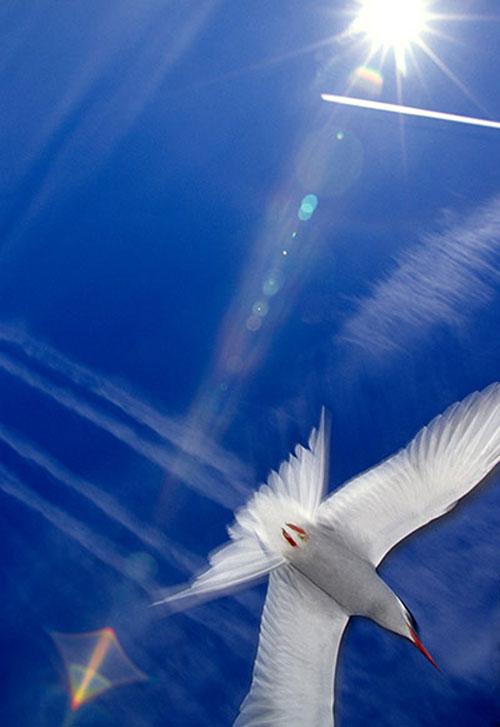 """Khả năng kinh ngạc của giới động vật còn được tìm thấy ở loài nhạn Bắc cực Sterna paradisaea - loài chim """"marathon"""" thực hiện cuộc di cư từ nơi sinh sản Bắc cực trong mùa hè tới trú đông ở Nam cực với quãng đường dài gần 80.000km/năm"""