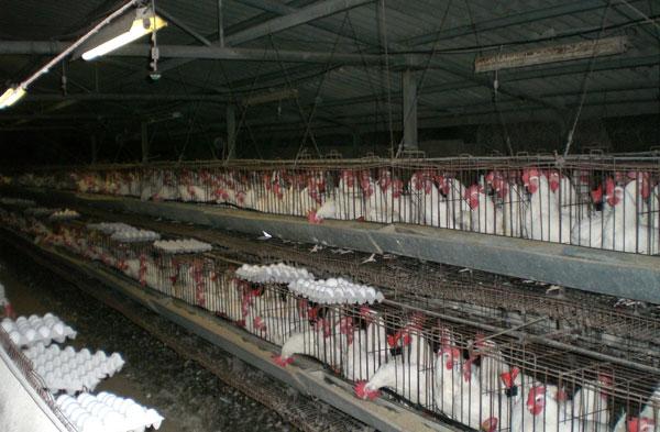 Tiêu hủy 8 triệu con gà vì dịch cúm