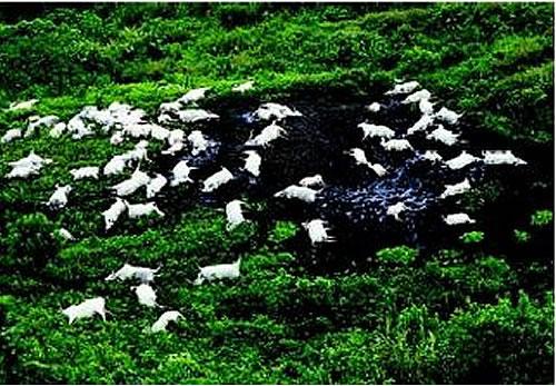 """...và khi """"tử thần"""" thức giấc khiến gia súc chết trắng hồ"""