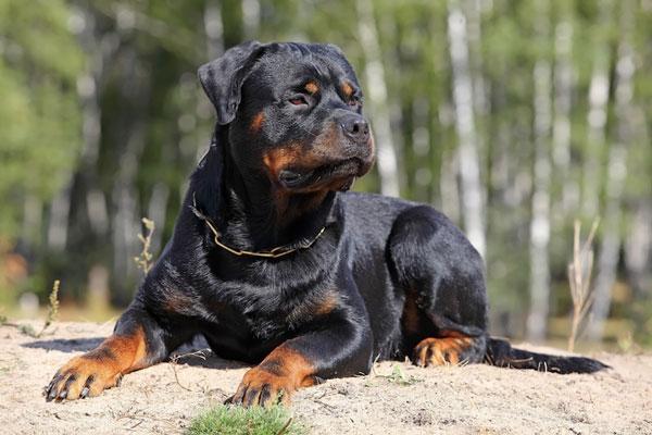 Một con chó thuộc giống Rottweiler.