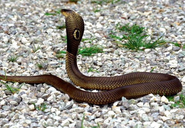 Tại sao rắn hổ mang bành rộng cổ được?
