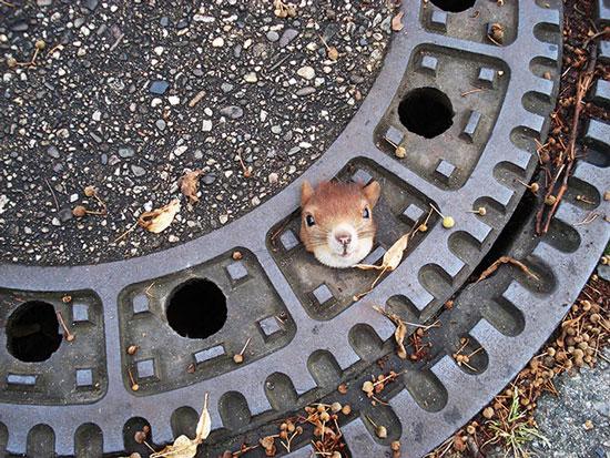 Ảnh động vật tuần qua: Sóc mắc kẹt trong nắp cống