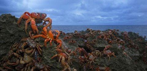 Những binh đoàn cua tím khổng lồ đang xâm chiếm các đảo thuộc quần đảo Hawaii.