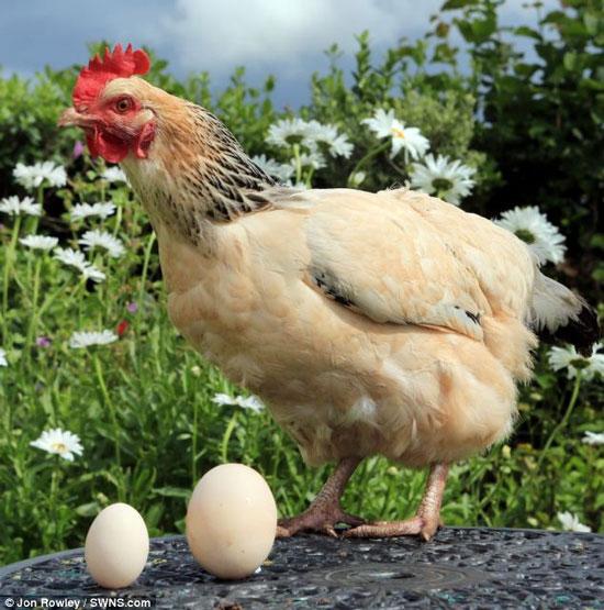 Gà đẻ trứng khổng lồ đúng ngày sinh nhật chủ