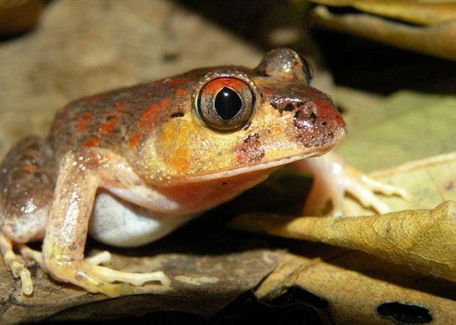 Phát hiện thêm 10 loài lưỡng cư kỳ lạ