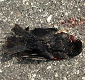 Chim rơi hàng loạt tại Mỹ