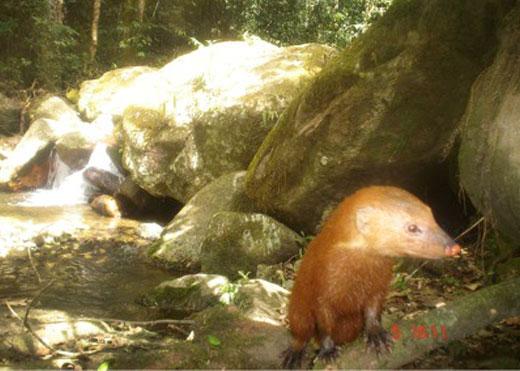 Hình ảnh con cầy mangut lông đỏ - cam cực kỳ quý hiếm tại Aceh (Indonesia).