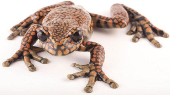 Ếch Hyloscirtus princecharlesi - được đặt theo tên của Hoàng thân xứ Wales Charles - được phát hiện tại các con suối thuộc rừng mưa nhiều mây Ecuador.