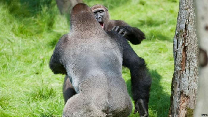Hai con khỉ ôm nhau