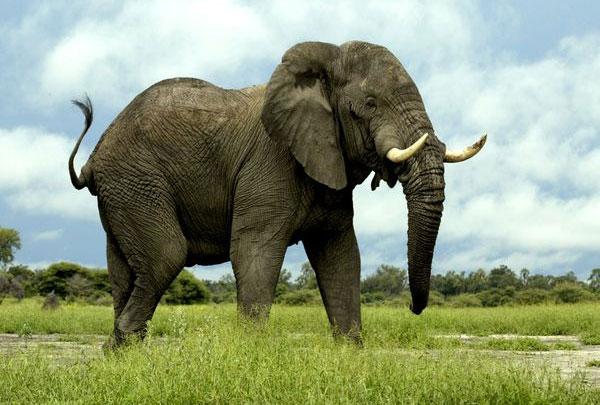 Ngừa thai cho voi