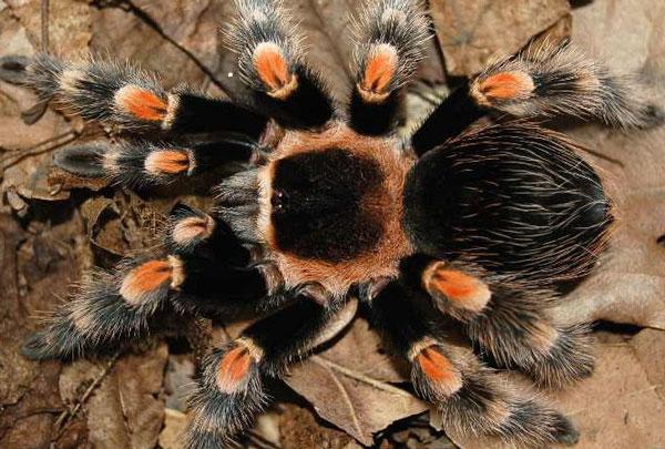 Australia nghiên cứu nọc độc nhện chữa ung thư vú