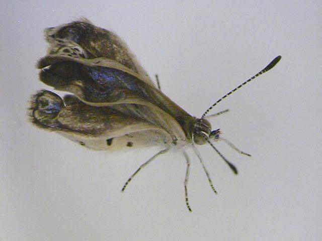 Một con bướm Zizeeria maha ở Fukushima, Nhật Bản bị dị tật. Đây là nghiên cứu về bướm đầu tiên cho thấy phóng xạ rò rỉ ở Nhật đã dẫn tới sự biến đổi thể chất của các loài sinh vật.