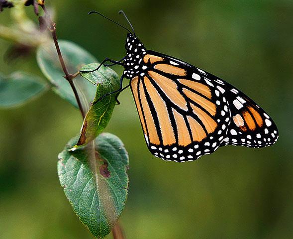 Bộ cánh độc đáo của một con bướm chúa ở Montpelier, Vermont (Mỹ). Hàng năm, loài bướm này lại di chuyển quãng đường dài 4.800km từ Rocky Mountains đến Bắc Mỹ để trú đông ở Mexico và nam California.