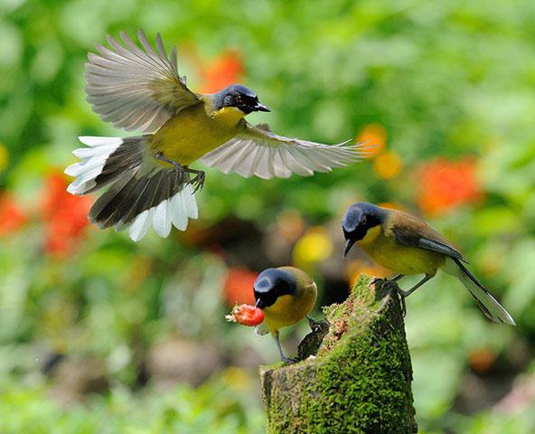 Giống chim hét đầu xanh được xếp vào top 10 những loài động vật đang có nguy cơ tuyệt chủng. Ở Trung Quốc, chỉ còn khoảng chưa đầy 250 con trưởng thành.