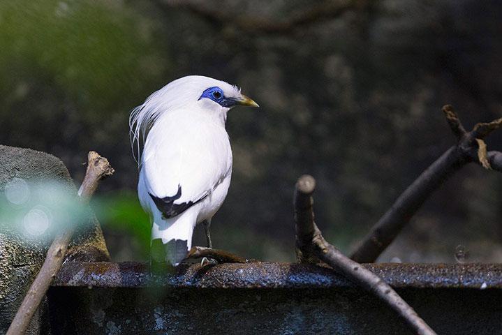 Chim sáo Bali là một trong những loài chim hiếm nhất thế giới. Sau 12 năm, đây là lần đầu tiên vườn thú gây giống thành công.