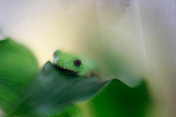 Một con ếch mắt đỏ xuất hiện trong ngày hội ếch vàng ở Panama.