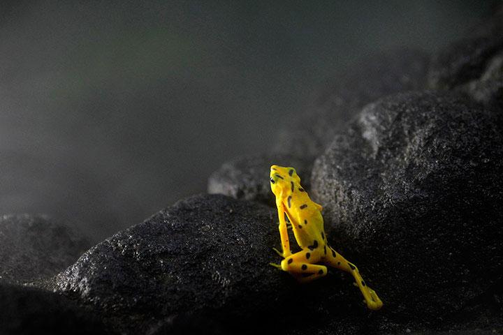Ảnh động vật tuần qua: Ngày hội ếch vàng ở Panama