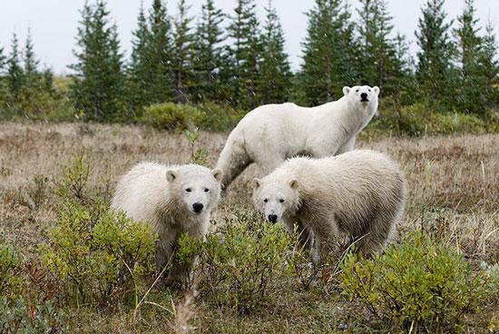 Vào mùa hè, khi băng dưới nước tan hết, những con gấu Bắc cực gần vịnh Hudson (Canada) dạo chơi trên bờ và sống trong những hang đào từ lớp đất bị đóng băng.
