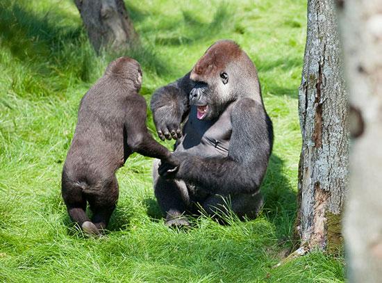 Hai chú khỉ đột tay bắt mặt mừng khi gặp lại nhau ở một vườn thú nước Anh sau 3 năm xa cách
