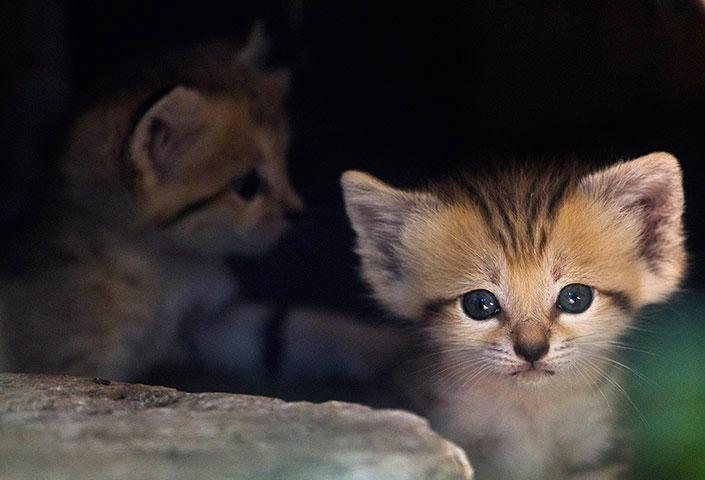 Những chú mèo con dễ thương thuộc giống mèo cát, vừa chào đời cách đây 3 tuần tại vườn thú Ramat Gan Safari (Tel Aviv). Loài mèo này được cho là đã tuyệt chủng tại Israel.