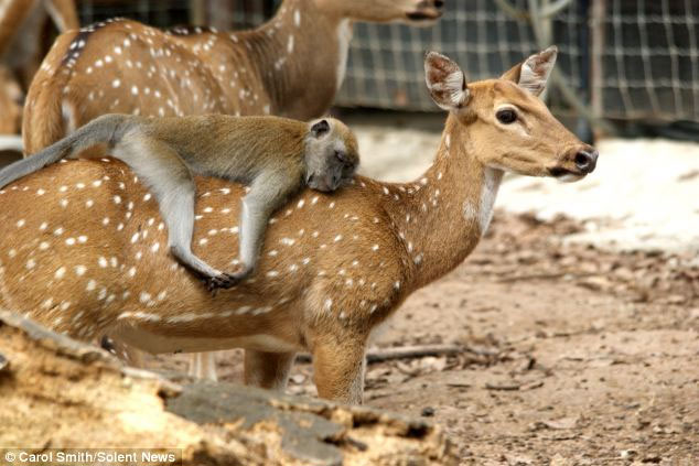 Hình ảnh: Khỉ đuôi dài ngủ gục trên lưng nai