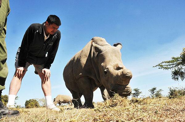 Một con tê giác trắng chụp ảnh cùng ngôi sao bóng rổ Yao Ming của Trung Quốc.