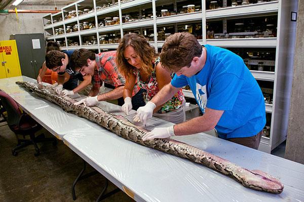 Một con trăn Miến Điện dài hơn 5m với 87 quả trứng trong bụng được tìm thấy tại Florida (Mỹ).