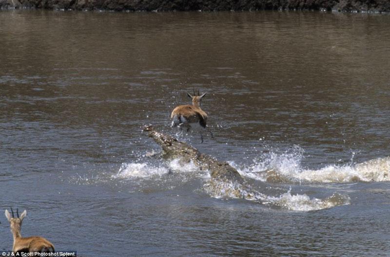 Linh dương dũng cảm nhảy qua đầu cá sấu
