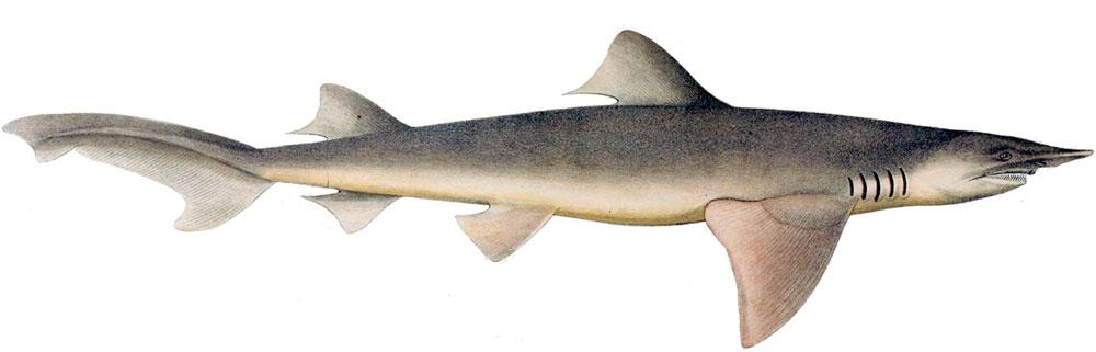 """Cá mập """"ma"""""""