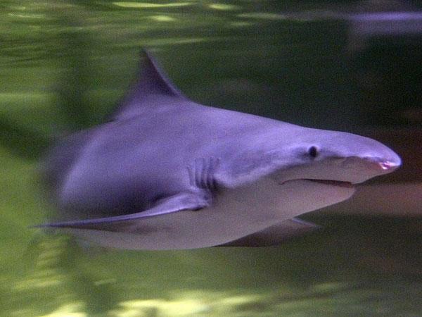 Cá mập răng giáo