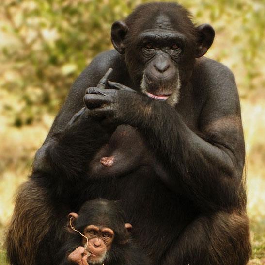 Động vật có mãn kinh giống người?