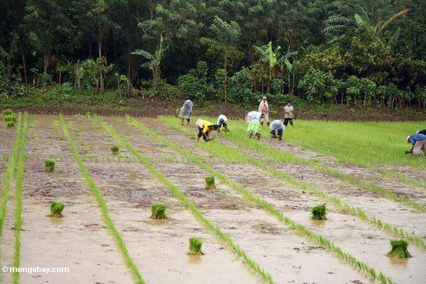 Giống lúa mới cấy gene PSTOL1 tăng sản lượng cây trồng thêm 60%