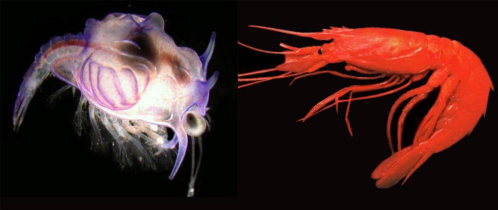 Ấu trùng có hình thù kỳ dị (trái) chính là một loài tôm (phải).