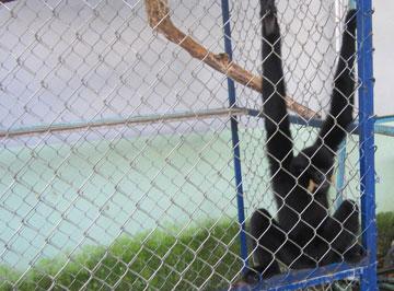 Giải cứu một cá thể vượn đen má hung quý hiếm